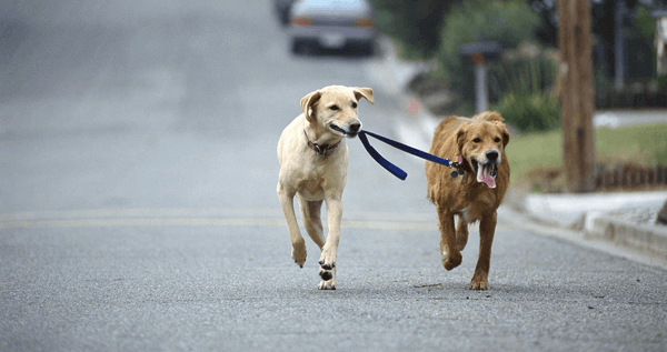 Two large dogs, one is holding the leash of the other in it's mouth.