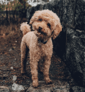 picture of a poodle dog with head tilted while looking at you