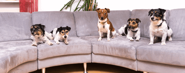 5 small dogs on a sofa
